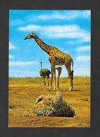 ANIMAUX - ANIMALS - GIRAFE GIRAFFE AND OSTRICHES - EAST AFRICAN WILD LIFE - PHOTO BY SAPRA STUDIO - Girafes