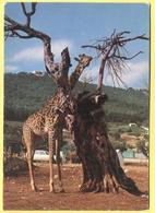Tematica - Giraffe  - Zoosafari Di Fasano - Not Used - Giraffe