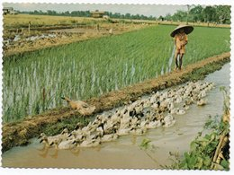 INDONESIA - CENTRAL JAVA - A RURAL SCENE WITH A DUCK-HERDER / RICE FIELD - Indonesia