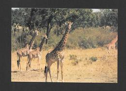 ANIMAUX - ANIMALS - GIRAFES MAASAI GIRAFFES - PHOTO BY LO GIUDICE - Girafes