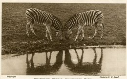 UNITED KINGDOM  - Chapmans Zebras -  Whipsnade Zoo Park - VG Animation Etc - Zebras