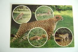 Animaux - Félins - Wildlife Of East Africa   KENYA   AFRICA  AFRIQUE    VIAGGIATA  COME DA FOTO - Kenia