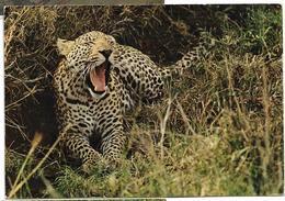 LEOPARDS FAUNE AFRICAINE - Lions