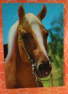 Cavallo Horse  Cartolina 1972 - Cavalli