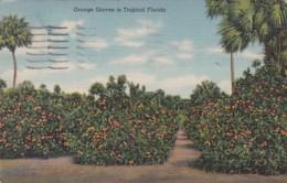 Florida Typical Orange Grove 1946 Curteich - United States