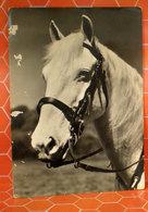 Cavallo Horse  Cartolina - Cavalli