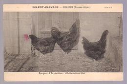 Cpa Du 04- ORAISON - Select élevage (poule) Rhode- Island-red - Francia