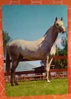 Cavallo Horse Cartolina 1974 - Cavalli