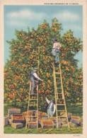Florida Picking Oranges Curteich - United States