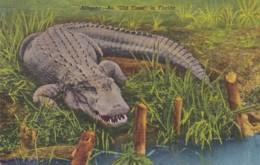 Florida Alligator An Old Timer In Florida 1958 Curteich - United States