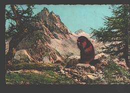 Marmot - Le Déjeuner De La Marmotte - Animaux & Faune