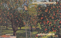 Florida Harvesting A Golden Crop Of Oranges - United States