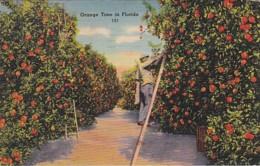 Florida Orange Picking Time 1943 - United States