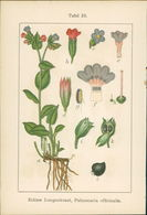 Lithographie : Echter Beinwell, Symphytum Officinale. Echtes Lungenkraut, Pulmonaria Officinalis. - Estampes & Gravures