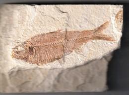 Rare Très Beau  Fossile De  Poisson 14 X 10 Cm - Fossiles
