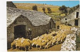 SUR LES GRANDS CAUSSES: Arrivée Des Moutons à La Bergerie - France
