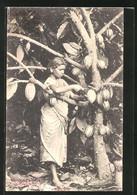 AK Cocoa Gathering, Indische Frau Erntet Kakaofrüchte - Landwirtschaftl. Anbau