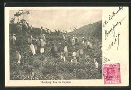 AK Ceylon, Plucking Tea In Ceylon, Teeanbau - Unclassified