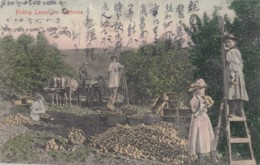 'Picking Lemons In California' Japanese Language Message Sent To Japan 1906, Immigrant Worker?, C1900s Vintage Postcard - Ohne Zuordnung
