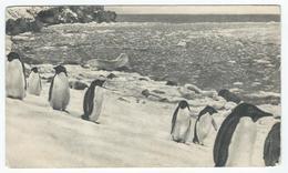 Iles FALKLAND - Pingouins - Dans Le Sillage De Bougainville - Pub. Plasmarine Au Verso - Falkland
