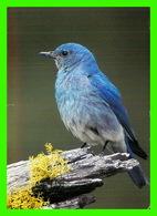 OISEAUX - MALE MOUNTAIN BLUE BIRD - LE MERLE BLEU A DOS MARRON - PHOTO DECOR LTD - - Oiseaux