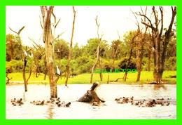 HIPPOPOTAMES - HIPPOPOTAMI ENJOYING LIFE IN LAKE KARIBA, ZIMBABWE - TRAVEL IN 1987 - - Hippopotames