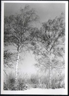 C0147 - Foto - Birken Bäume - Fotografie