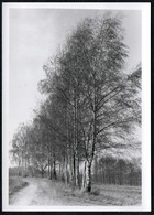 C0148 - Foto - Birken Bäume Allee Baumallee Birkenallee - Fotografie
