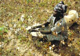 Afrique-TCHAD (femme Dans Un Champ De Coton Cueillette) (photo J.C. Gadmer/Ciric N°92.93 / 8 ) *PRIX FIXE - Chad