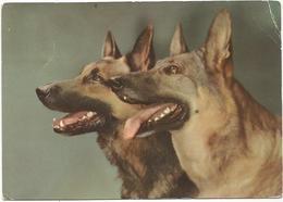 V3192 Cane - Dog - Chien - Hund - Perro / Viaggiata 1962 - Cani