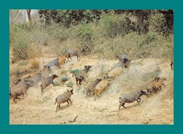 Niger Parc Du W Buffles Dans Le Mekrou - Niger