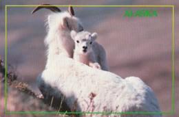 Alaska Alaskan Dall Sheep In Mt McKinley Denali National Park - United States