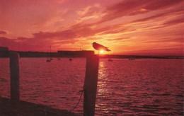 Birds Seagull In The Setting Sun Along The New England Coastline - Birds