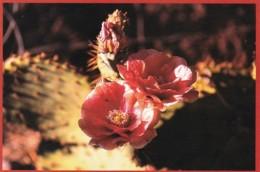 Mojave Prickly Pear Cactus Barstow California - Cactus