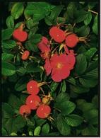 Heckenrose Mit Hagebutten  -  DJH / Deutsche Jugend Herberge  -  Ansichtskarte Ca. 1987    (9162) - Blumen