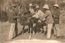 MADAGASCAR  RECOLTE DES PLUMES D'AUTRUCHES A TULEAR - Madagaskar