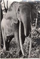 East African Fauna (Elephant) - Éléphants