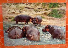 Ippopotami Cartolina Kenya - Ippopotami