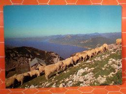 Pecore Greggie Cartolina Lago Di Garda Monte Baldo - Animali