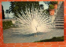 Pavone Uccello Cartolina 1959 - Uccelli
