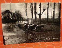 Pecore Greggie Pascolo Foligno Fonti Clitunno Cartolina 1957 - Animali