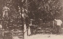SINGAPOUR  -  Plantation De Caoutchouc Rubber Plantation - Singapour