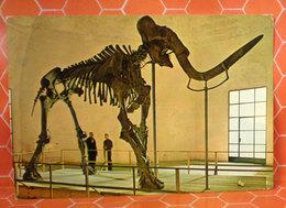Mammut Museo Aquila Degli Abruzzi  Cartolina 1971 - Musées