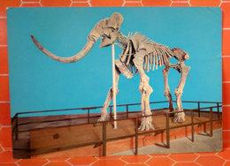 Mammut Museo Aquila   Cartolina 1970 - Musei
