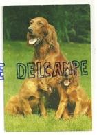 Chien. Dog. Setter Irlandais Editeur: Verlag Gmbh 49-3048 - Chiens