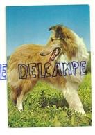 Chien. Dog. Berger Des Shetlands. Cecami 1052 (Lassie) - Chiens