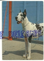 Chien. Dog. Dogue Danois. Edizioni Saemec S. 1370/2 - Chiens