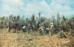 Rare Cpa Guadeloupe La Récolte De La Canne à Sucre - Guadeloupe