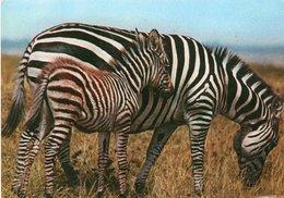 ZEBRA-MOTHER AND BABY - Zebre
