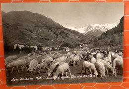 Pecore Greggie Pascolo Cartolina Ayas Periax Sfondo Ghiacciai Monte Rosa - Animali
